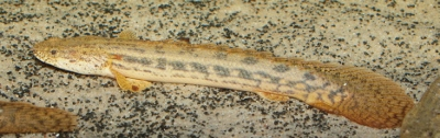 Picture of Polypterus ansorgii